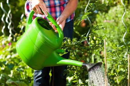 watering garden: Gardening in summer - woman (only torso) watering plants with water pot