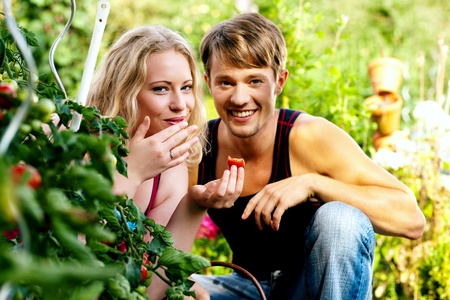 Gardening Couple - man and woman - harvesting and eating tomatoes in their domestic garden on a sunny day Stock Photo - 11912358