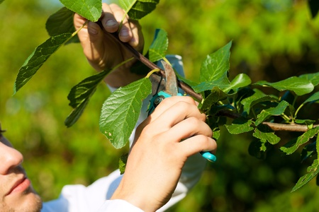 bush trimming: Man is cutting fruit tree with trimmer in his garden on a beautiful summer day Stock Photo