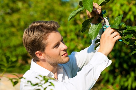 tree trimming: Man is cutting fruit tree with trimmer in his garden on a beautiful summer day Stock Photo