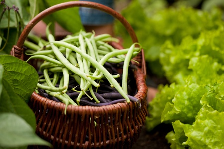 bush bean: Basket in garden with beans Stock Photo