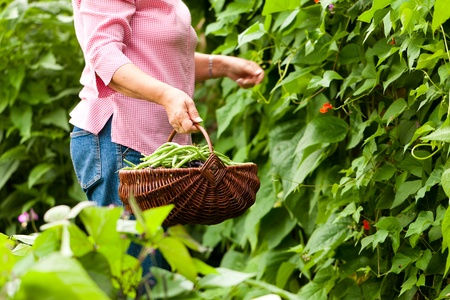 Woman - only torso to be seen - harvesting beans in her garden and putting them in a basket