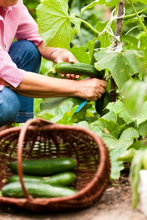 Woman harvesting cucumbers in her garden, cutting them with a knife and putting them in a basket photo
