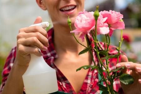 floriculture: Female florist or gardener in flower shop or nursery with roses