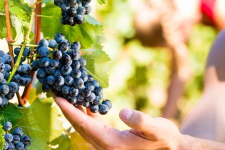 Wijnmaker man plukken druiven bij de oogst in de zon