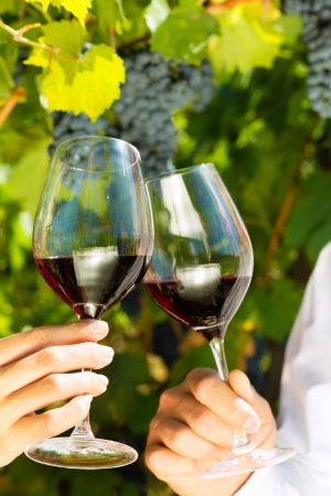 clinking: Woman and man in vineyard drinking red wine in the sunshine clinking the glasses