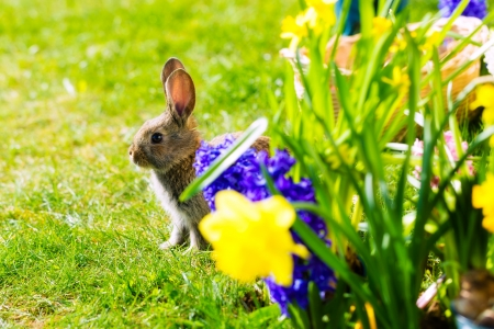 Living Easter Bunny behind flowers on a meadow in spring photo