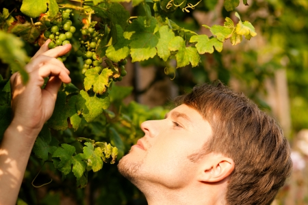 winemaker: Winemaker checking the status of his wine grapes