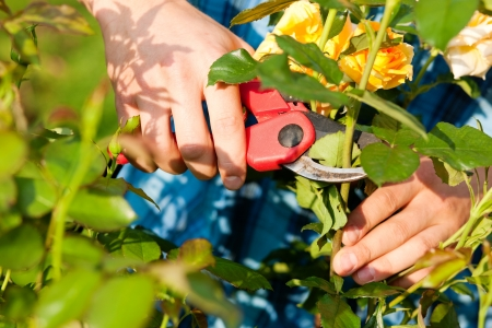 Man - only hands to be seen - doing garden work cutting the roses on  beautifully sunny day Stock Photo - 17743374