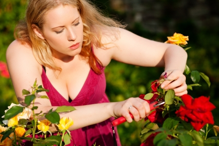 Woman doing garden work cutting the roses at beautifully sunny day Stock Photo - 17743388