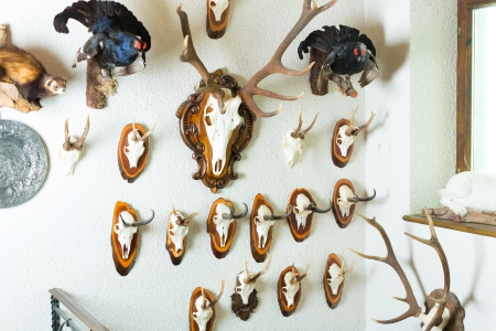 hunter's cabin: Wall with different horns, antlers and trophies of a hunter in alpine cottage Stock Photo