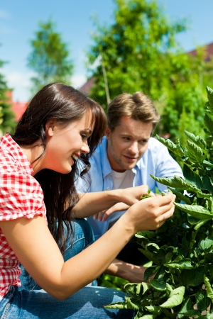 Gardening in summer - couple is in the garden and harvesting tomatoes photo