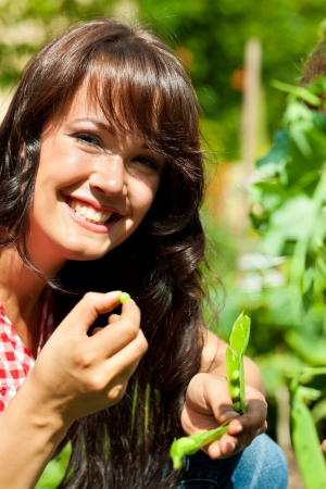 Gardening in summer - woman harvesting peas and nibbles from the bush Stock Photo - 20932996