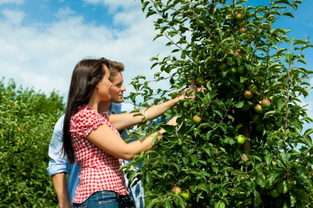 Happy young couple harvesting apples in summer, they might be gardeners or farmers photo