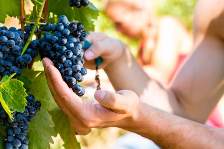 winemaker: Winemaker man picking grapes at harvest time in the sunshinee Stock Photo