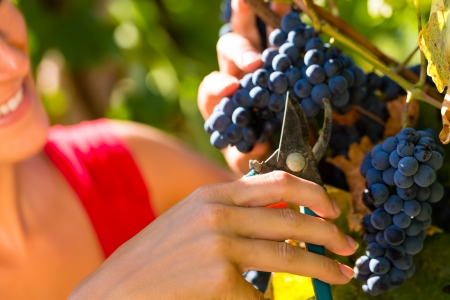 winemaker: Woman winemaker picking grapes with shear at harvest time in the sunshine Stock Photo