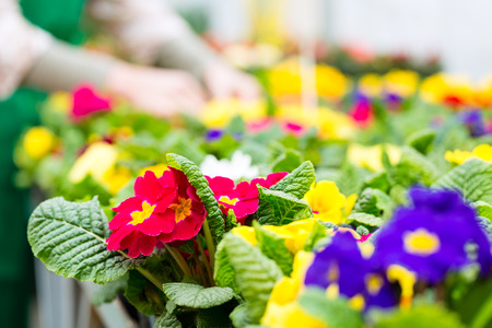 florist shop: Female florist or gardener in flower shop, greenhouse or nursery