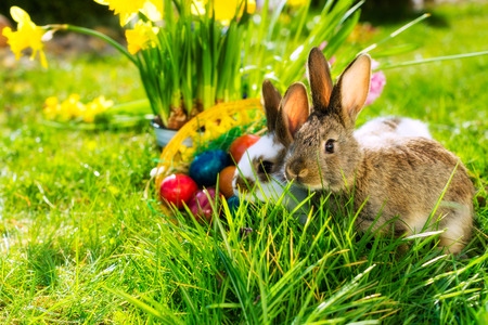 Living Easter bunny with eggs in a basket on a meadow in spring photo