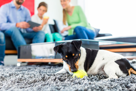 living together: Jack Russel Terrier playing with ball in living room family sitting on sofa