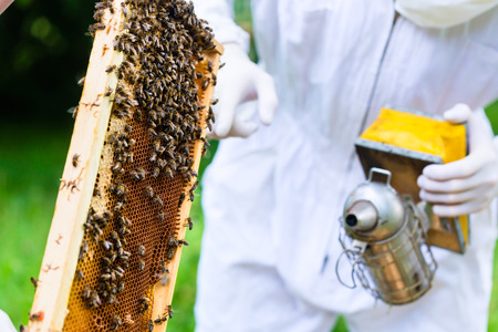 beekeeper: Beekeeper with smoker controlling beehive and comb frame Stock Photo