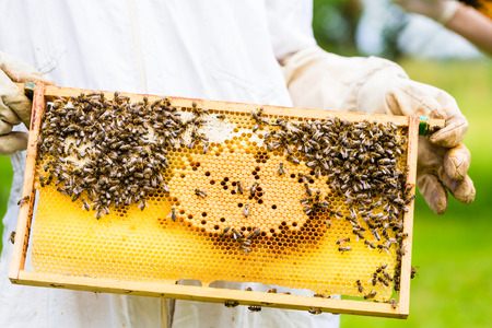 Beekeeper controlling beehive and comb frame photo