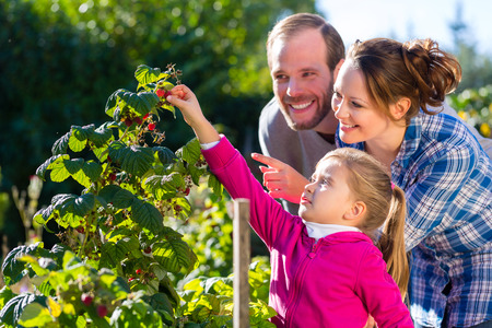 Family with mother, father and daughter picking berries from blackberry bush in the garden photo