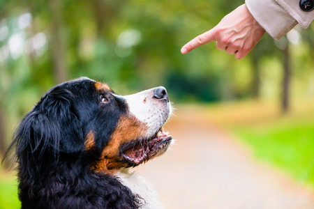 bernese mountain dog: Woman doing obedience training with dog practicing sit command