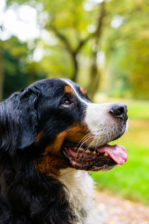 bernese mountain dog: Bernese mountain dog sitting in park outside Stock Photo
