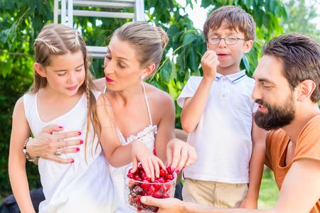 comiendo frutas: La cosecha de la familia y comer cerezas en el jard�n