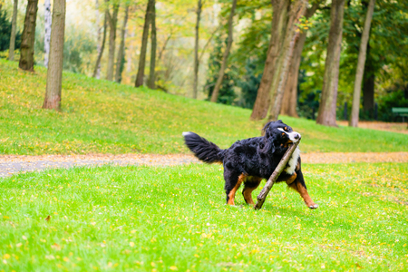 fetching: Bernese mountain dog fetching stick on meadow with fall foliage