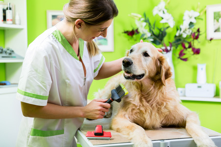 clippers comb: Woman getting Golden Retriever fur care at dog parlour