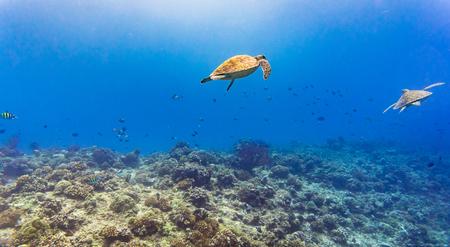 fondali marini: Tartaruga di mare e molti pesci in scogliera tropicale sotto l'acqua