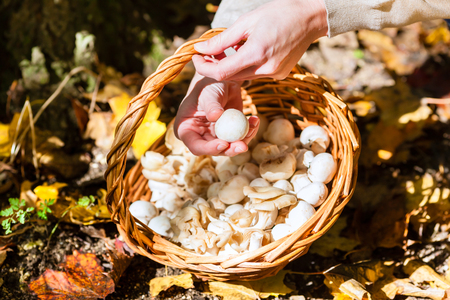 Woman collecting mushrooms in basket