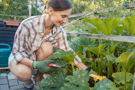 Woman in her garden harvesting cucumbers or courgette from vegetable bed Stock Photo