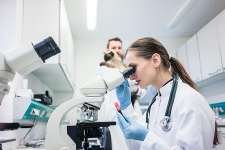 Asistente de laboratorio y veterinario examinando una muestra de tejido de un gato al microscopio Foto de archivo
