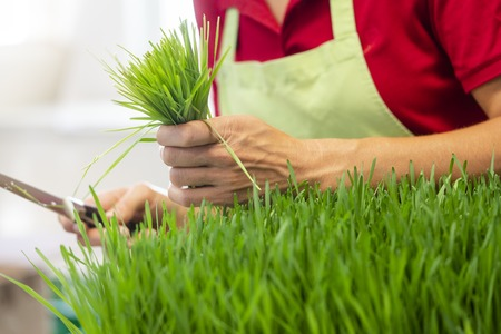 Gardener harvesting wheatgrass with knife