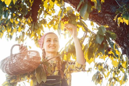 Woman plucking cherries from tree in harvest time during sunset Stock Photo