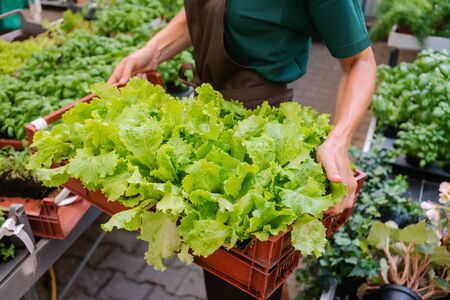 Gardener showing the salad she grew in the hothouse holding a crate Stock Photo