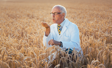Scientist testing new breed of GMO grain sitting in a test field