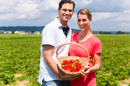 Couple picking strawberries themselves on a field in June