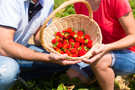 Pick your own strawberries on a field presented by a couple Stock Photo
