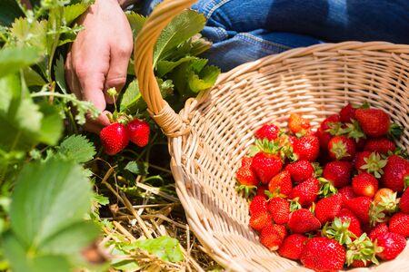 Frau pflückt Erdbeeren in einen Korb und pflückt sich selbst