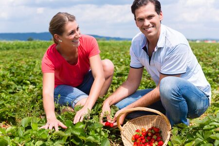 Woman and man on a pick yourself strawberry field being busy harvesting