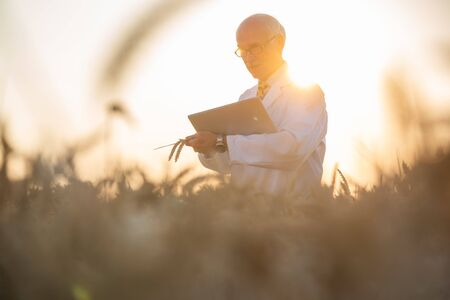 Man doing research on genetically modified grain in wheat field, he is an agricultural scientist