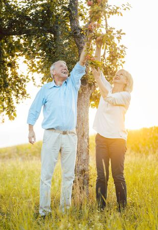 Senior couple of woman and man eating apples fresh from the tree, they are stretching themselves to reach the fruit