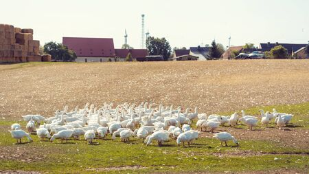 Geese on a meadow of a farm eating