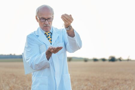Agricultural scientist looking for quality of new seeds in grain field