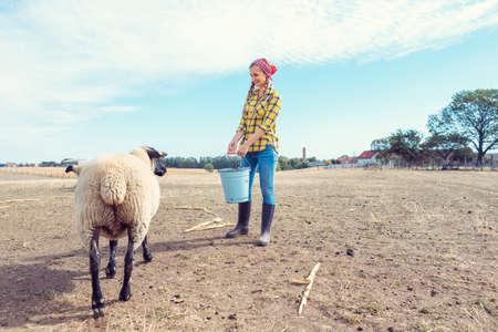 Farmer feeding her farm sheep 写真素材