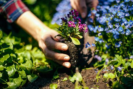 Closeup of woman's hands planting purple flower into the ground in her home garden helping with a trowel. A gardener transplant the plant on a bright sunny day. Horticulture and gardening concept