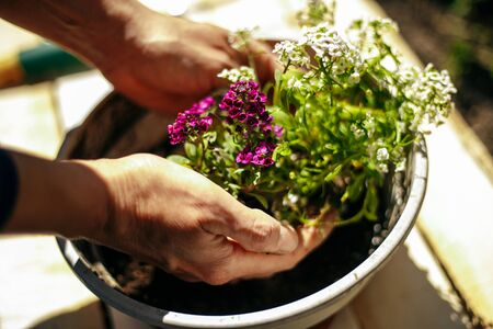 Closeup of woman's hands holding and adjusting two flowers just being transplanted into a pot. Gardener with purple and whote flowers on a sunny day. Horticulture and home garden concept
